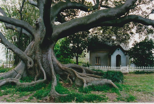 This ancient fig in Camperdown cemetery was probably living at the time when Eliza was jilted.
