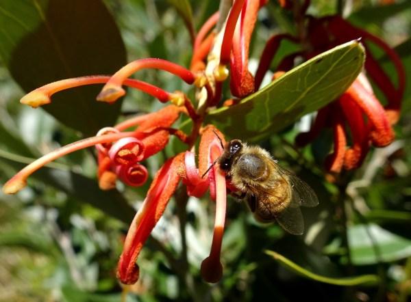 Bee on grevillea bloom