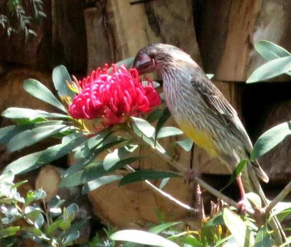Wattle Bird feeding on waratah