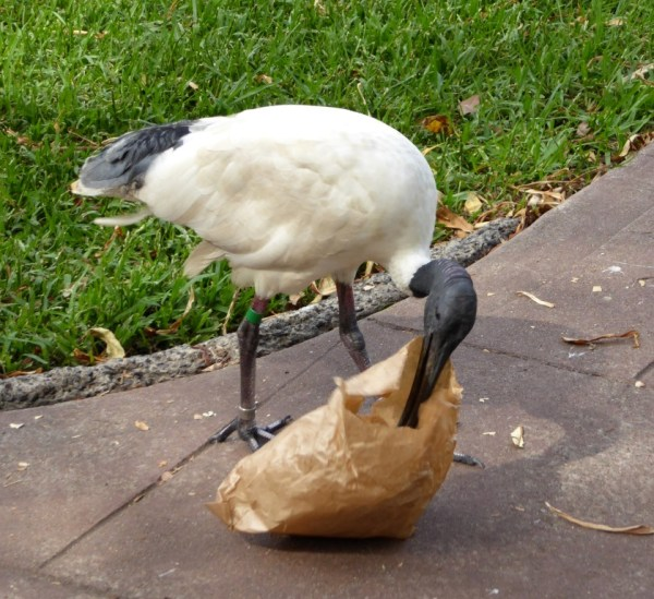 Sacred Ibis in Hyde Park, Sydney