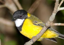 A gorgeous songster; the Golden Whistler.