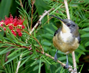 Eastern Spinebill, another of  the small birds lost to Sydney.
