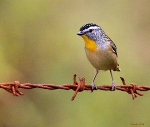 Pardalote on wire (courtesy of Wanda