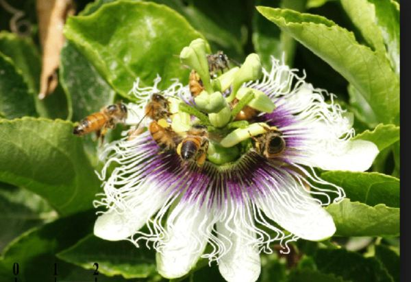 Passion flowerwith bees