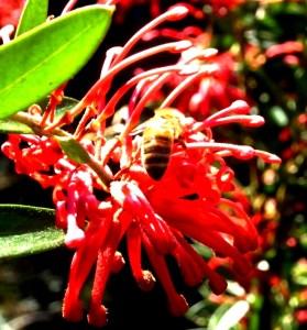 Grevillea bloom