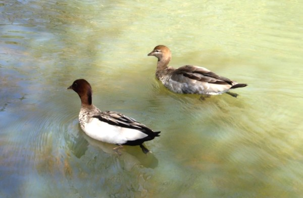 Male nd female wood duck.