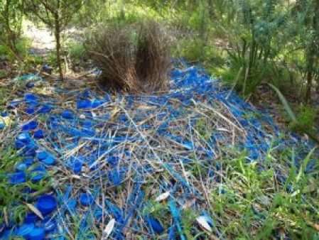 What a show! The bowerbird does  adore blue.