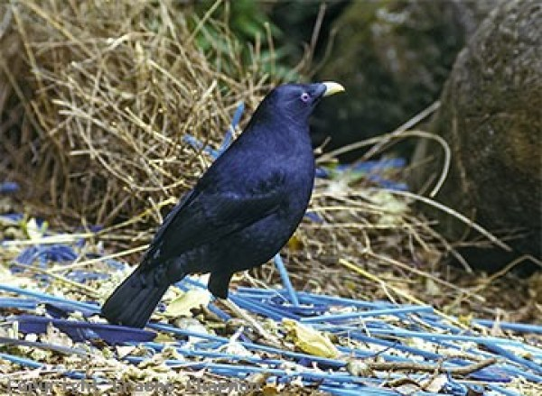 The straw floor...a great pic of a bowerbird by Graeme Chapman.