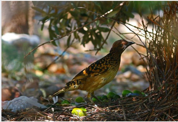 Westerb bowerbird's treasures