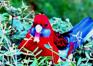 The crimson rosella loves correa bells too.