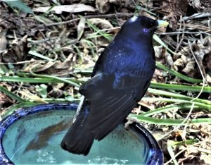 Male satinn bowerbird