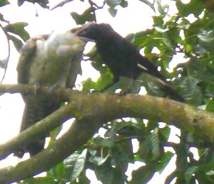 Currawong feeding a cuckoo
