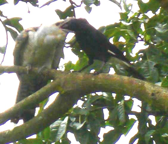 Oh, good grief! This currawong has a huge job feeding a cuckoo chick.