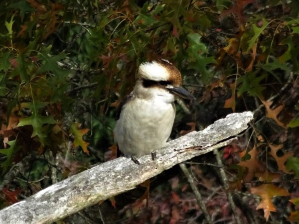 Kookaburrra in oak tree at Blackheath NSW