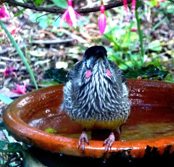 Wattle bird bathing