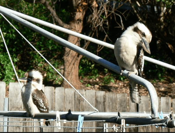 Kookaburra's on a Hills Hoist