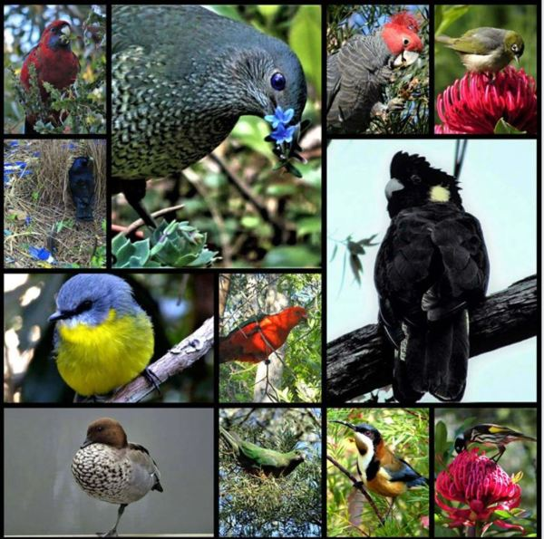 Collage of Blue Mountains Birds.