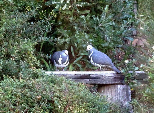 Wonga pigeons