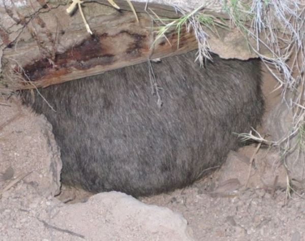 Wombt's bottom blocks its burrow.