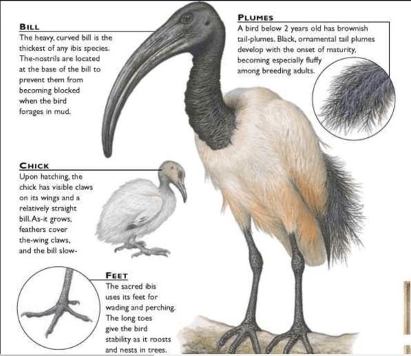 Anatomy of an ibis