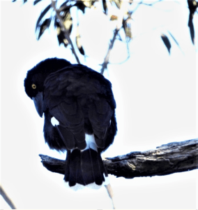 Currawong on dead bough.