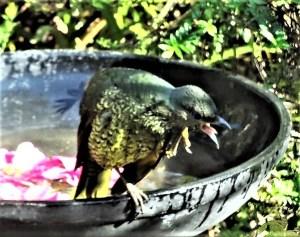Angry satin bowerbird.