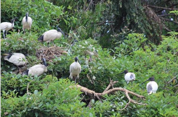 Sacred ibis nest