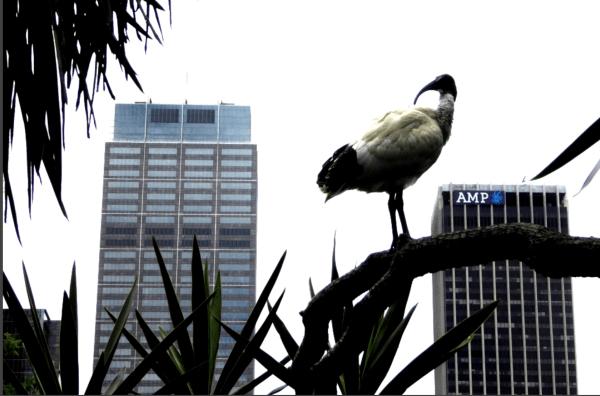 Sacred Ibis in Sydney