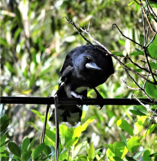 Currawong on the telephone wire.