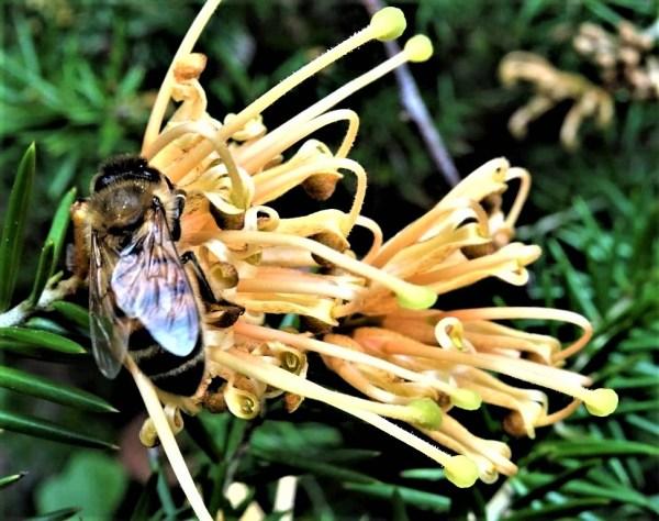 Bee on grevillea.