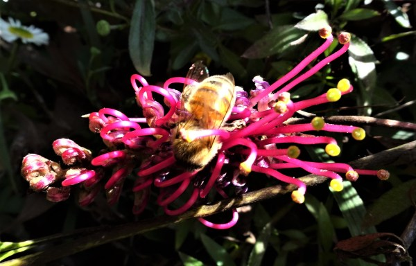 Bee on grouncover grevillea
