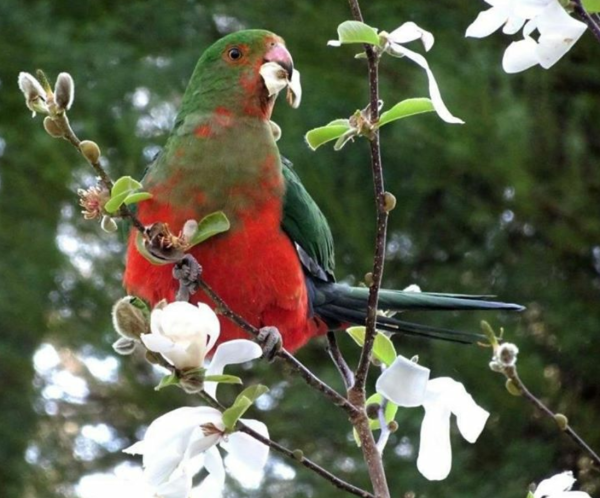 King parrot eating star magnolia flowers