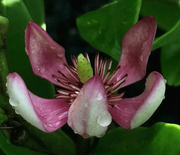 Port Wine Magnolia Bloom