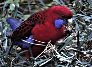 Crimson rosella eating mountain devil seed.
