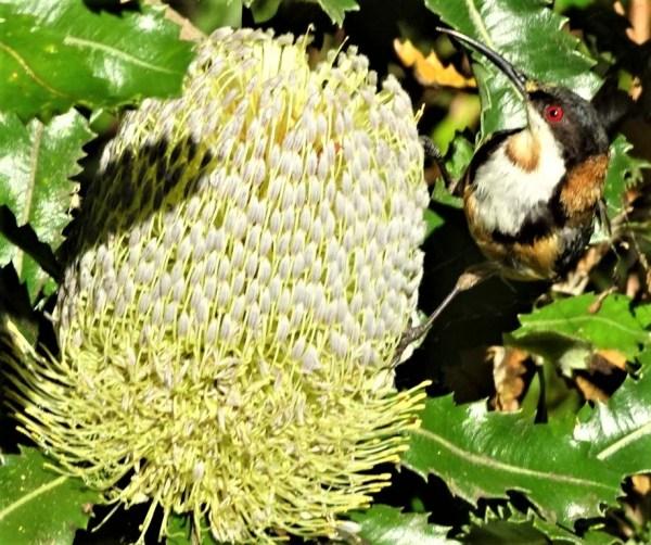 Eastern spiebill on banksia.