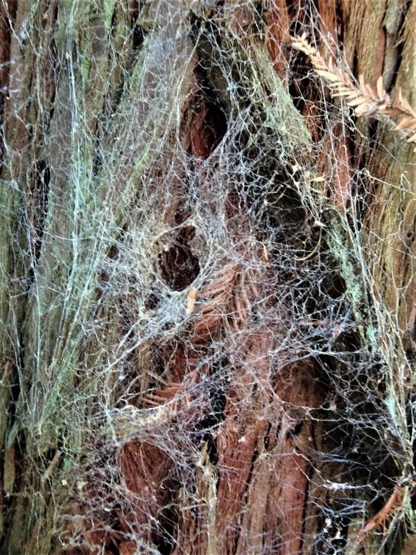 Spider webs on redwood trunk.