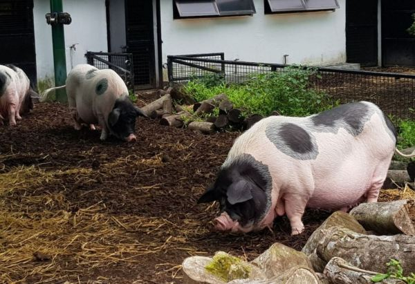 Pigs at Kadoorie Farm