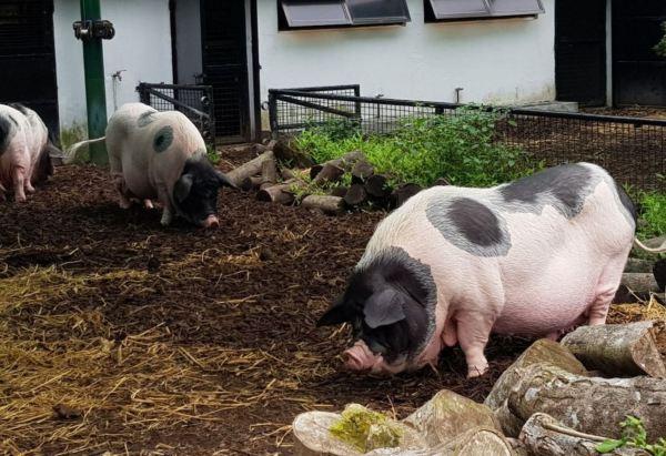 Pigs at Kadoorie Farm