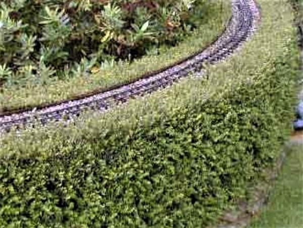 Lonicera hedge shaped into railway