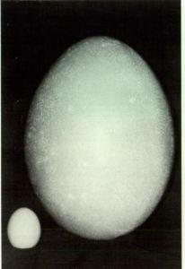 Hen's egg compared to Elephant Bird egg.