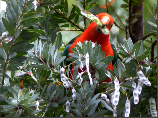 King Parrot feasting on wattle seeds