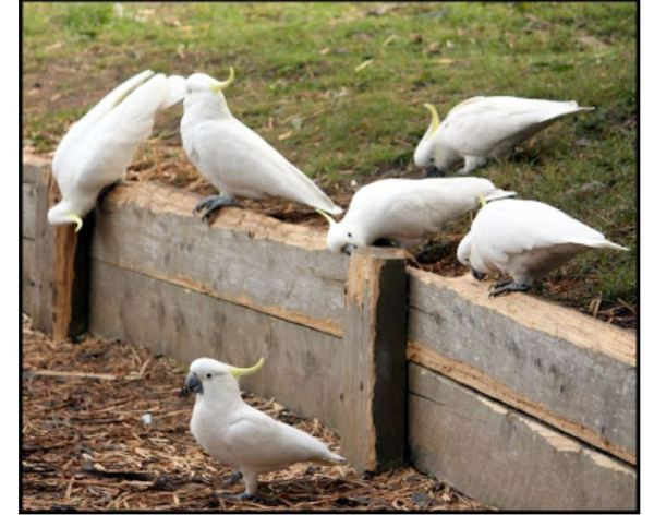 Sulphur crested cockatoos chewing a retaining wall.