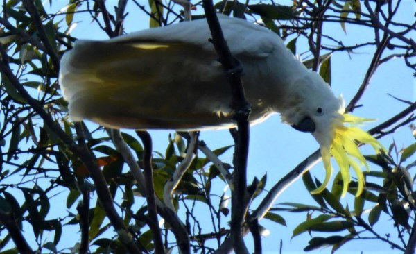 Sulphur crested cockatoo..