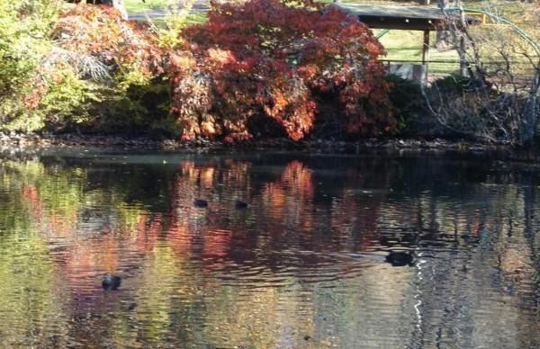 Blackheath duck pond,