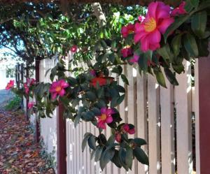 Autumn flowering camellias in Blackheath NSW