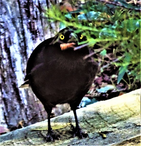 Currawong snacking after the encounter with Dr Bob.