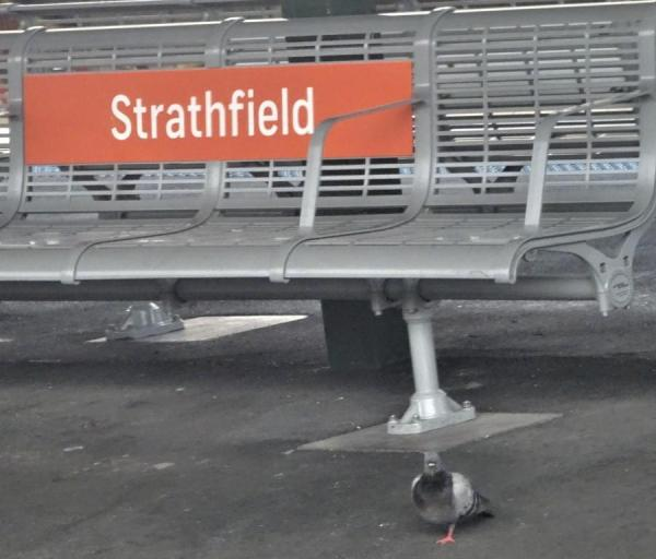 Pigeon waiting for a train