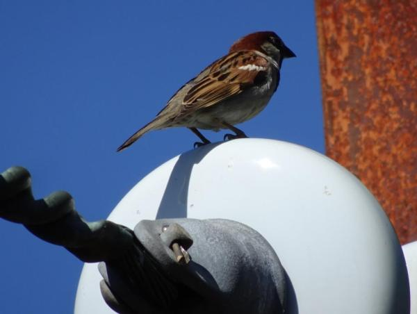 Resident sparrow at Blackheath Railway Station