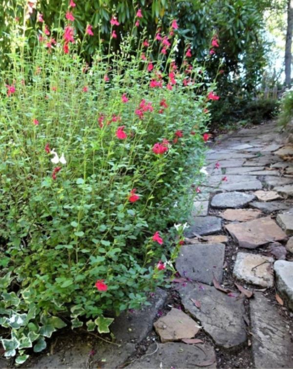 Hot lips salvia along flagstone path.