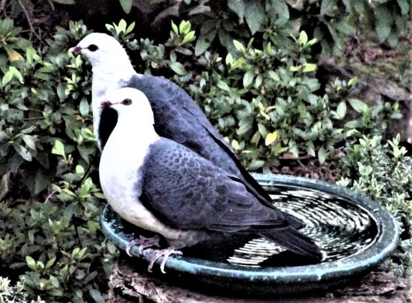Pir of white heded pigeons.